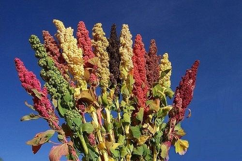 Quinoa: aspectos nutricionales y usos