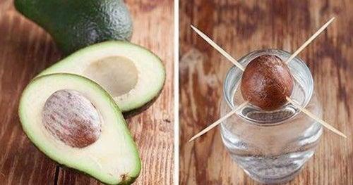 Cómo germinar una semilla de aguacate usando cuatro palillos