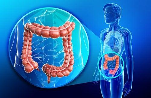 Anatomía y características del intestino grueso o colon