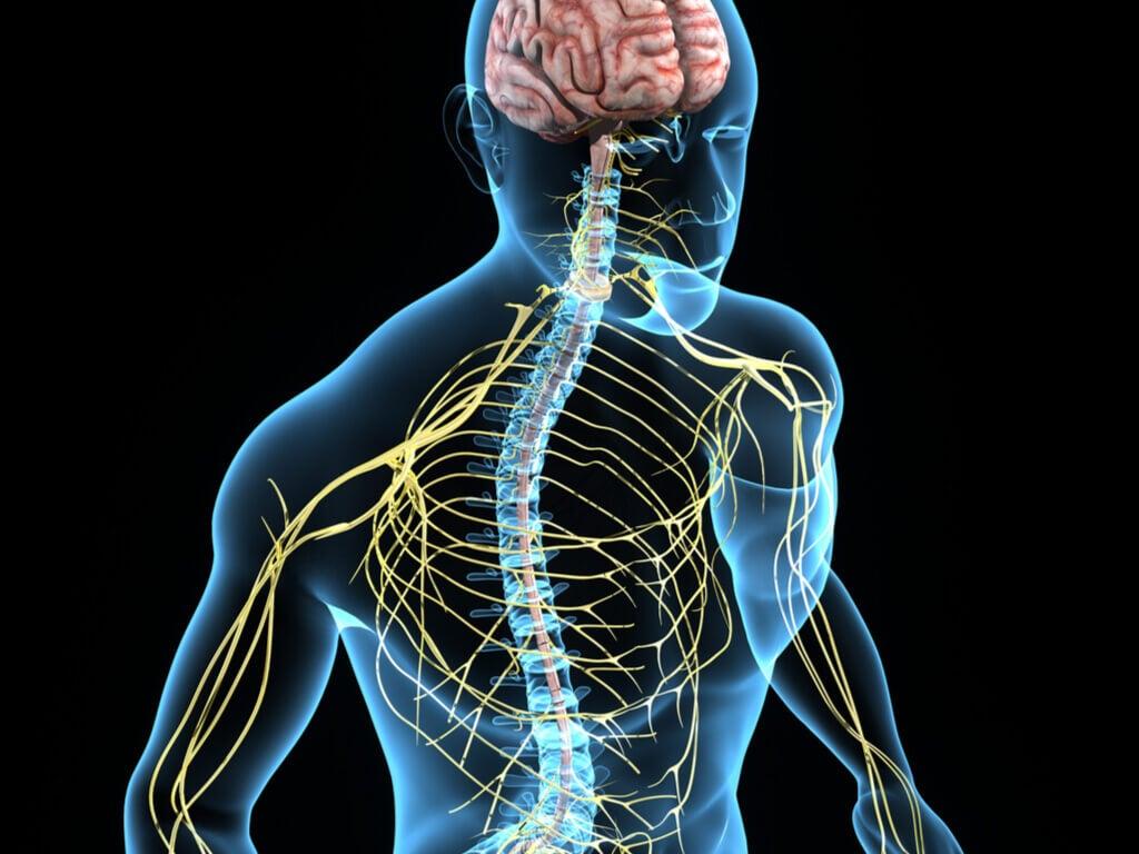 Inositol regula el sistema nervioso