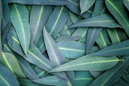 5 soluciones con eucalipto para aliviar problemas respiratorios