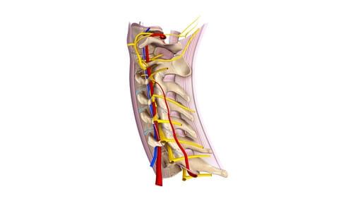 Aprende todo sobre los nervios raquídeos cervicales